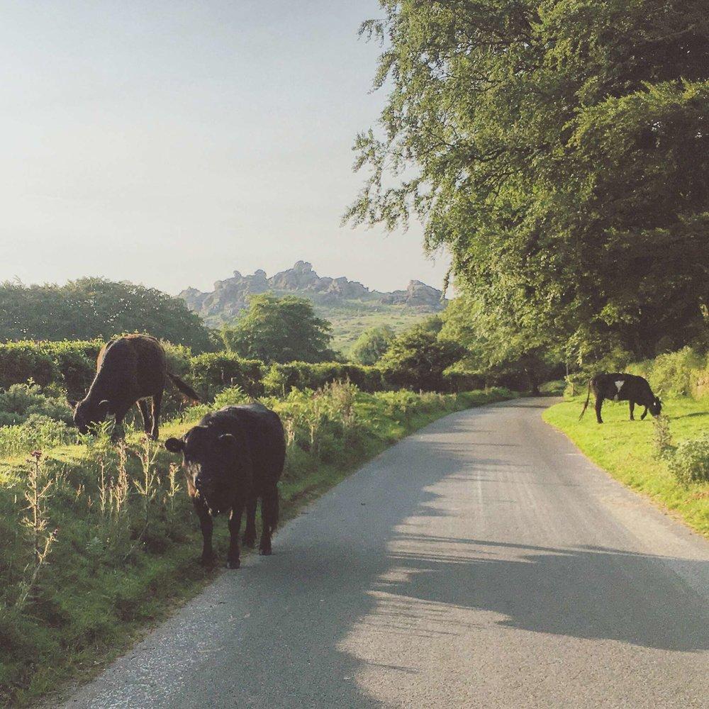 Hound-Tor-Cows.jpg