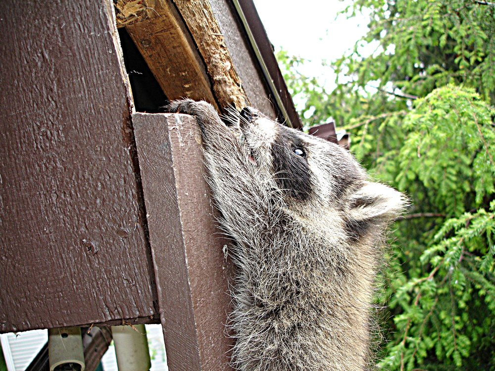 raccoon-gaining-access-point-caught-in-act.jpg