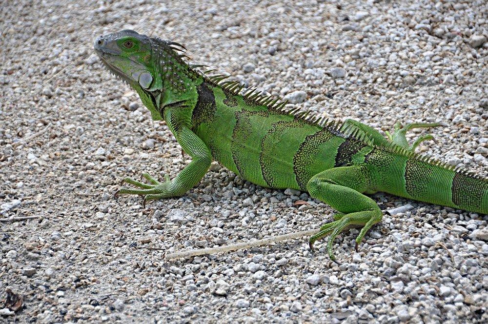iguana-482174_1280.jpg