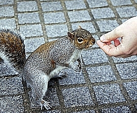 squirrel_feeding_from_hand_270x224.jpg