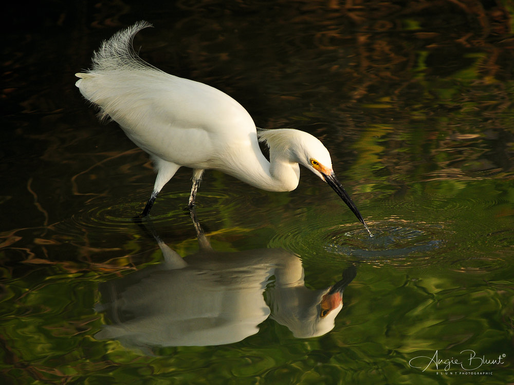 Snowy Egret Fishing, Marco Island, Florida (2011) -  Angie Blunt