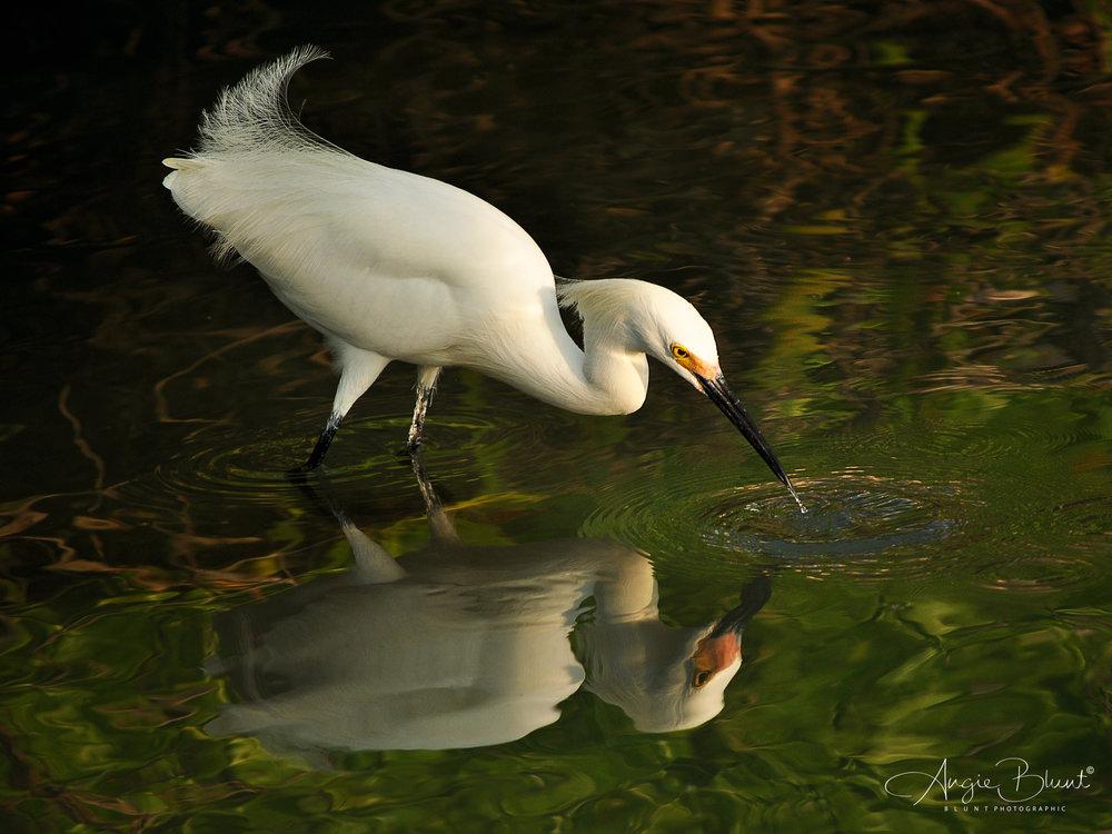 Snowy Egret Fishing, Marco Island, Florida (2011) -  Angie Blunt