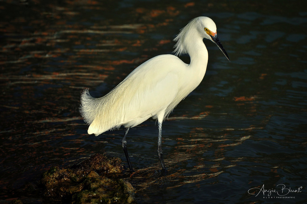 Snowy Egret Standing Tall, Marco Island, Florida (2011) -  Angie Blunt