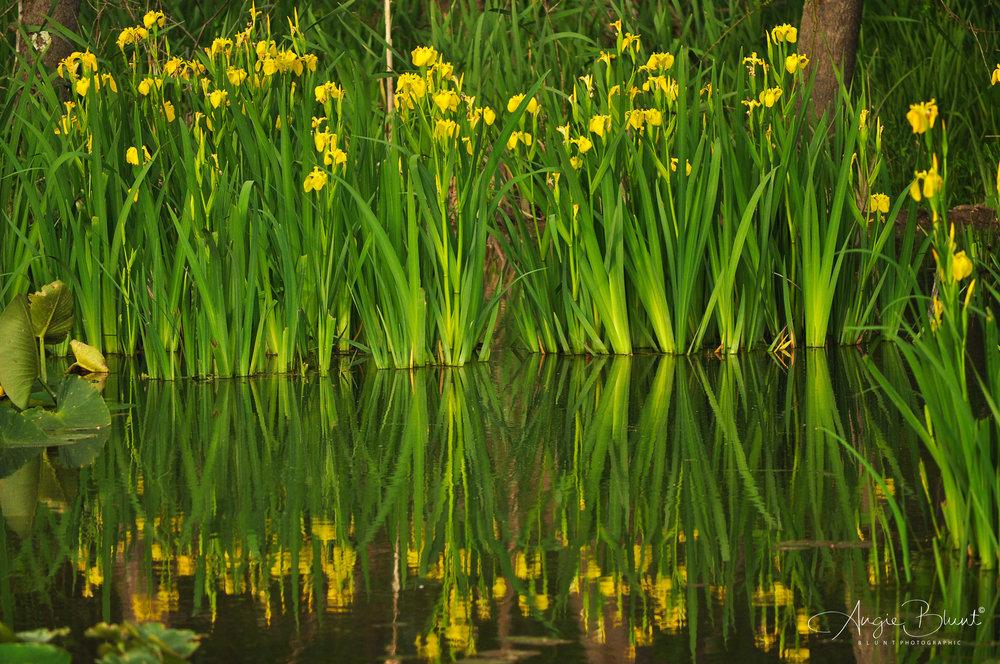 Wild Yellow Irises At Beaver Marsh, Cuyahoga Valley National Park, Ohio (2014) -  Angie Blunt