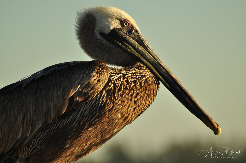 Pelican, Marco Island, Florida (2011) -  Angie Blunt