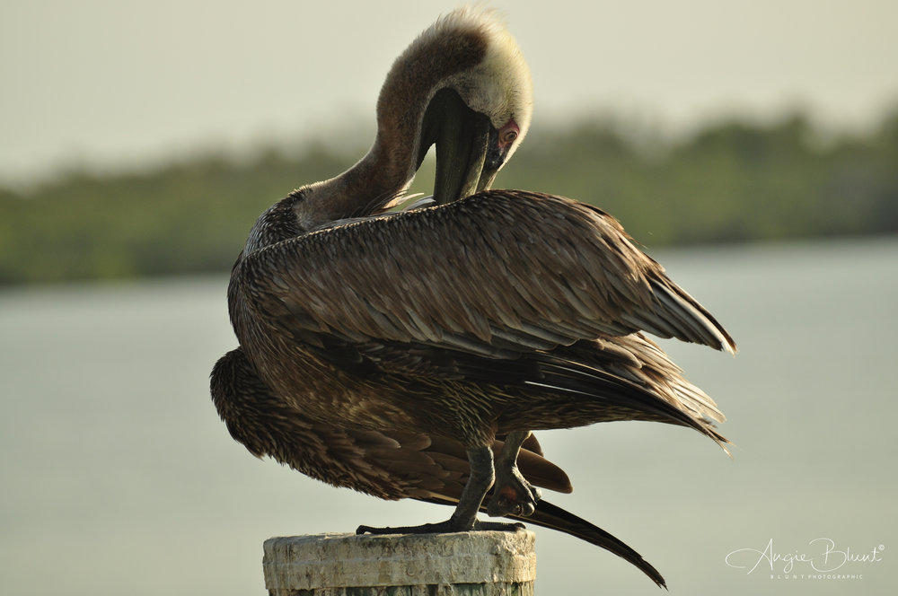 Pelican 2, Marco Island, Florida (2011) -  Angie Blunt