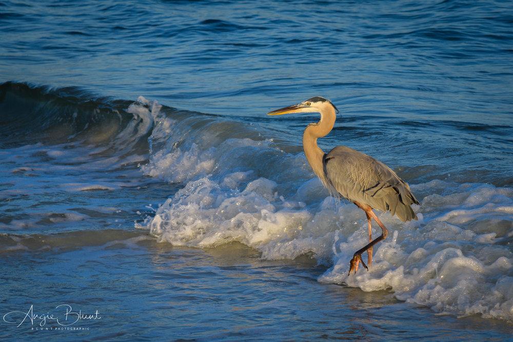 Great Blue Heron, Anna Maria, Florida (2018) -  Angie Blunt