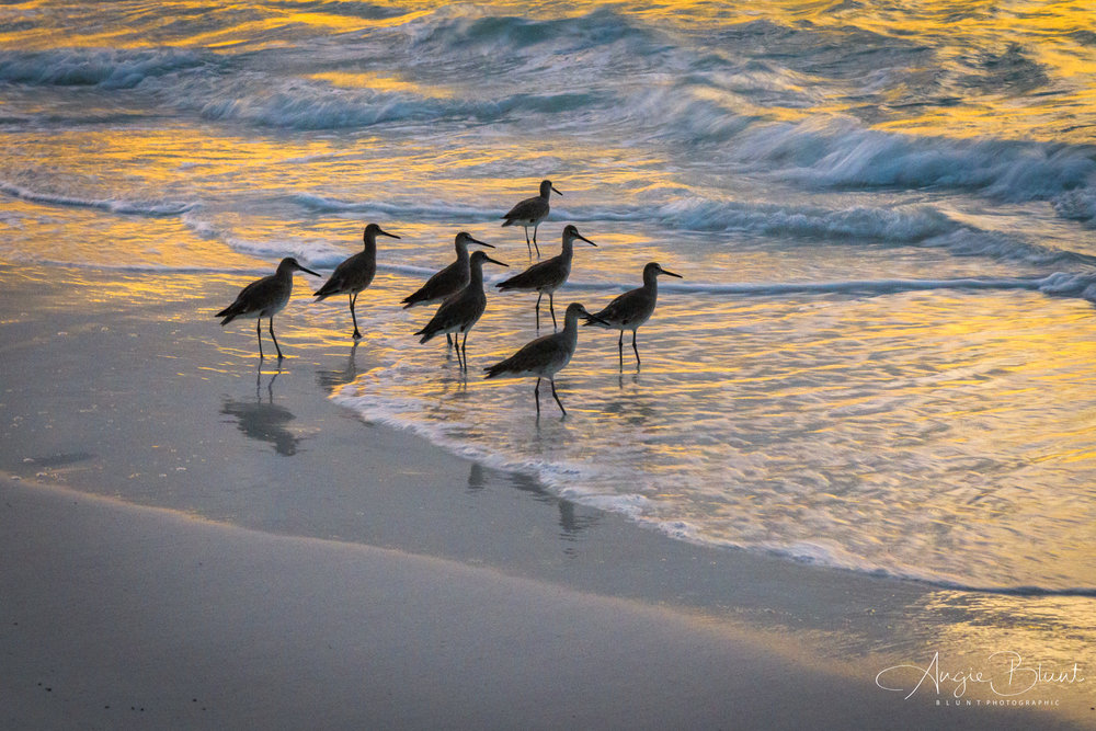 Willet's Feeding at Sunset, Anna Maria, Florida (2018) -  Angie Blunt
