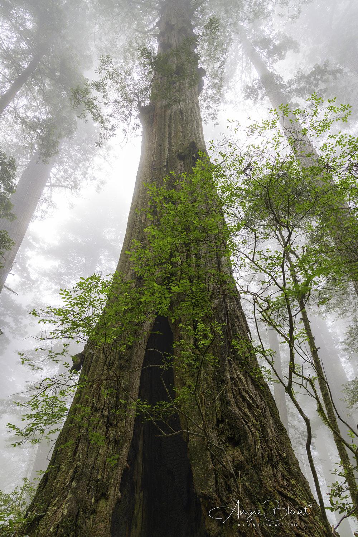 Del Norte Coast Redwoods State Park, California (2018) -  Angie Blunt