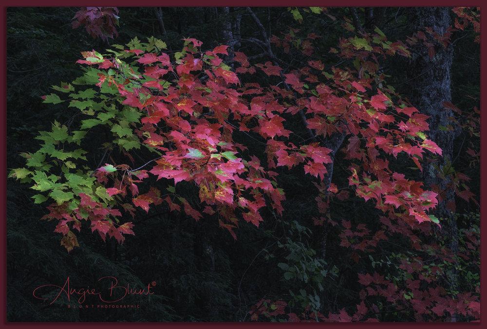 Adirondack Sugar Maple, Adirondack Park, New York (2018) -  Angie Blunt