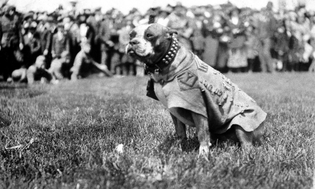 The real Sgt. Stubby circa 1917, New Haven, Ct.