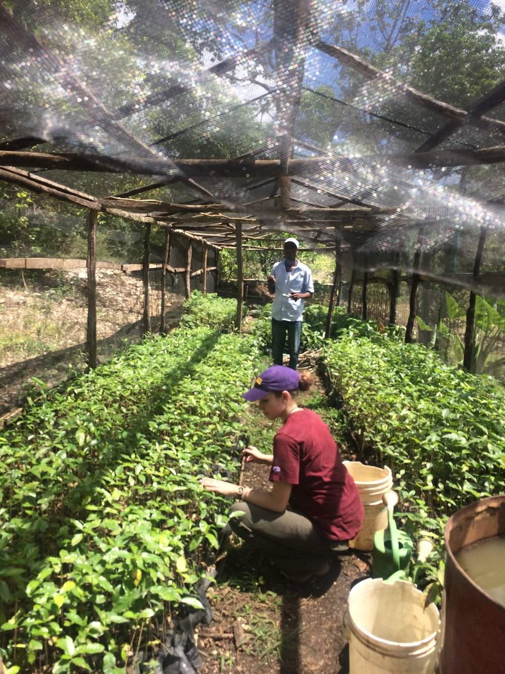 A Sewanee student plants seedlings in the Zanmi Kafe Nursery