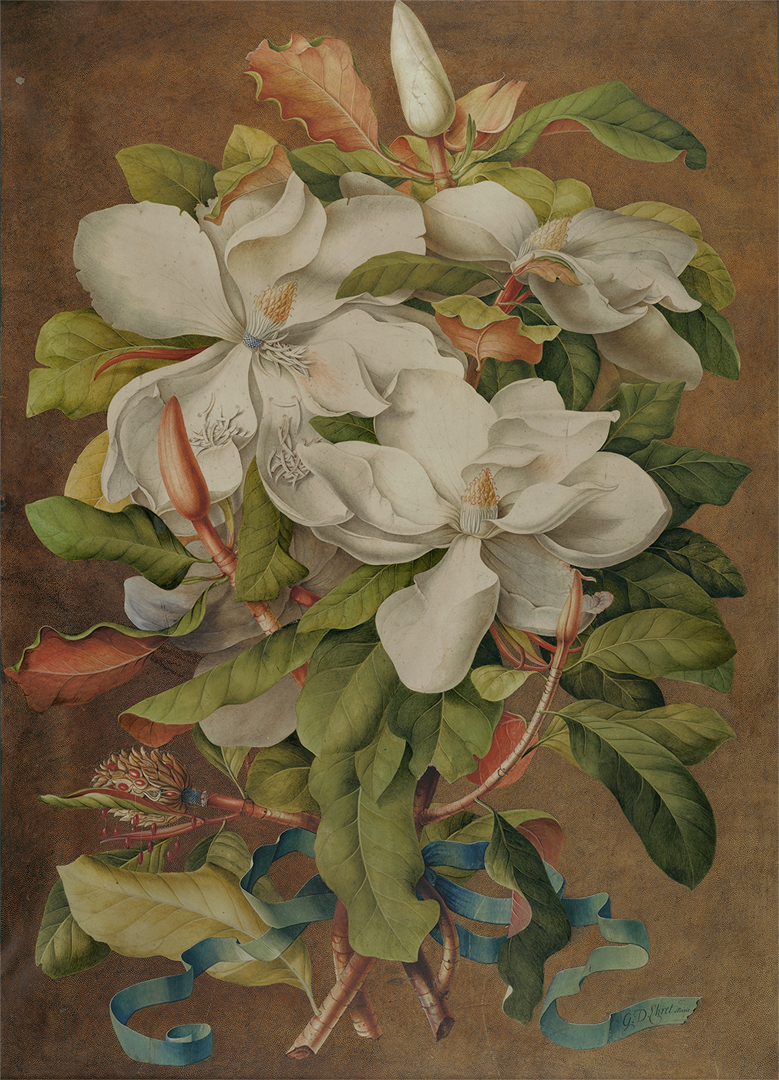 Georg Dionysius Ehret (German) was one of the most renowned botanical painters of the 18th Century. This painting demonstrates his ability to capture the botanical features and sheer exuberance of  Magnolia grandiflora  (ca. 1737) .