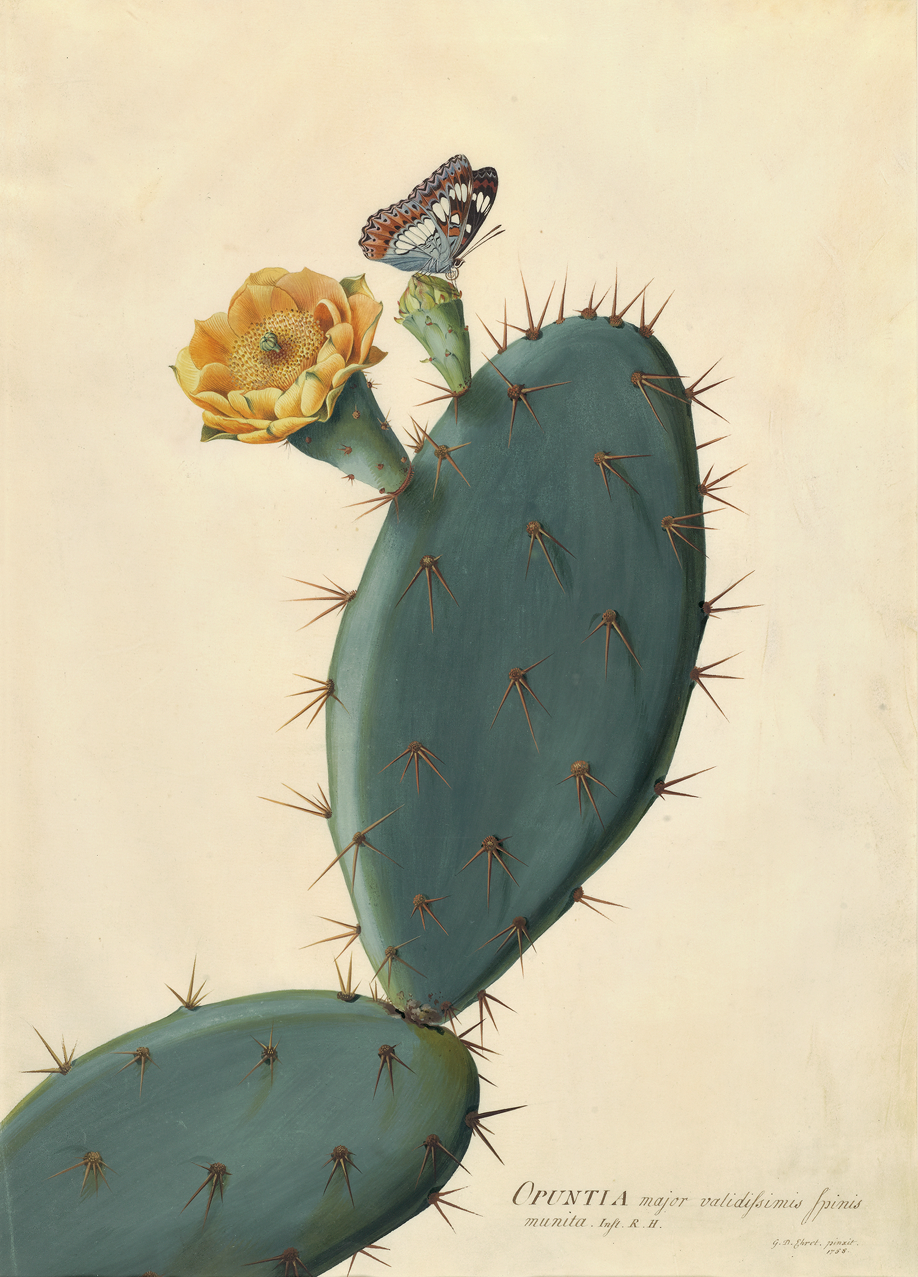 Georg Dionysius Ehret's work demonstrates his attention to detail and mastery of composition.  Opuntia , 1758.