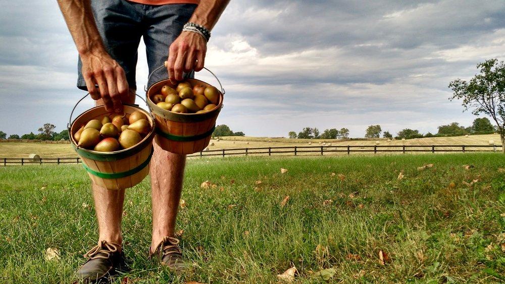 Pears-Landscape.jpg