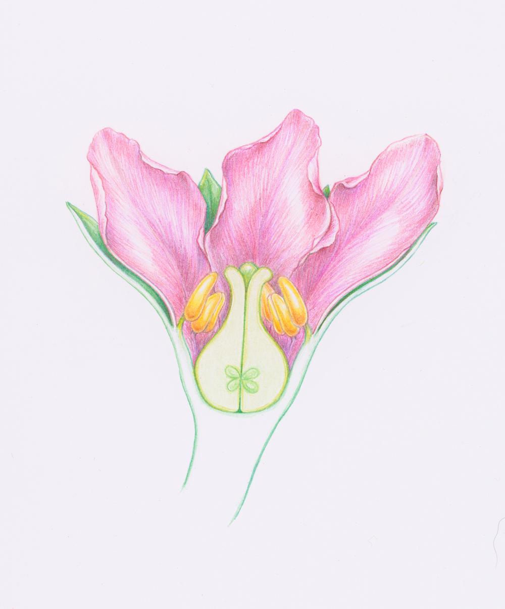 Caliciflora mauldinensis Reconstruction