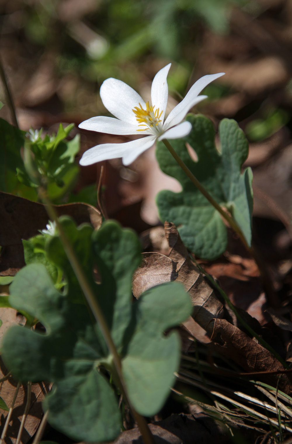 Bloodroot ( Sanguinaria canadensis)   Image by Michael Gaige