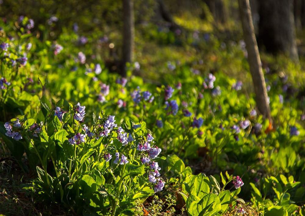 Virginia bluebells ( Mertensia virginica )  Image by Michael Gaige