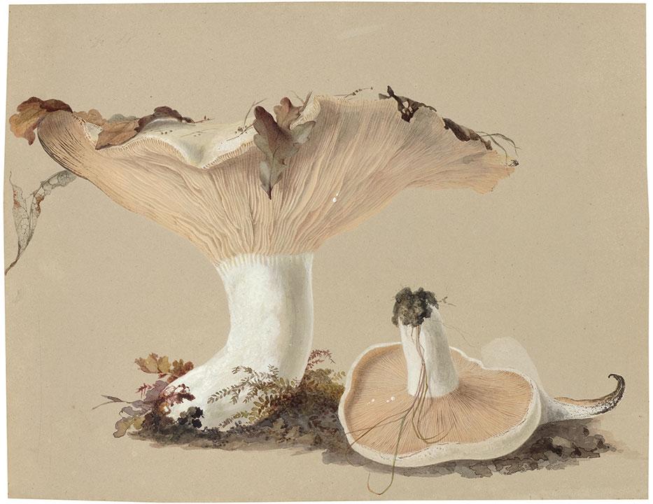 Agaricus vellereus