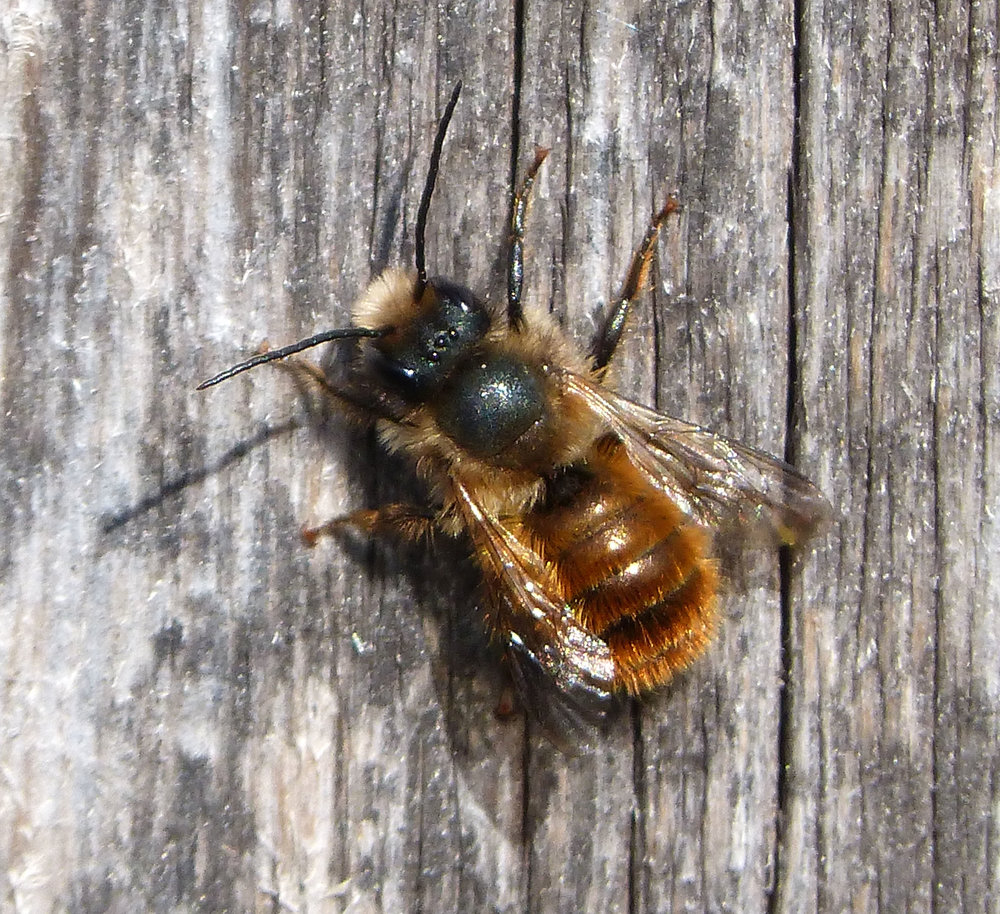 Mason bee, courtesy of Flickr user gailhampshire