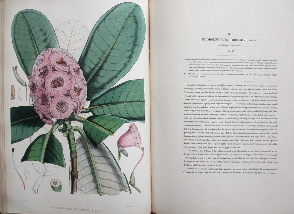 "The Rhododendron hodgsoni is just one plant Hooker recognized for its significance in the study of geographical botany: ""This… I have always regarded as the characteristic tree and shrub (or underwood) at the elevation of 10 to 12,000 feet in all the valleys of Sikkim."""