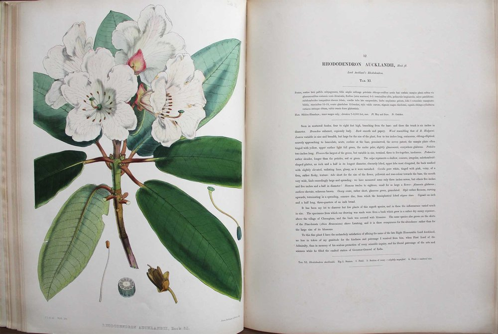 "Hooker's description of Rhododendron aucklandii notes that the plant is named after Lord Auckland, whose patronage Hooker celebrates. ""Corolla pure white, tinged with pink, veiny, of a firm, rather fleshy, texture."""