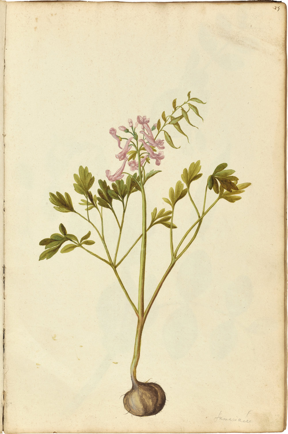 Illustration of Pink Corydalis by Jacques Le Moyne de Morgues, housed in the Oak Spring Garden Library