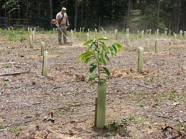 Photo of an American Chestnut seedling from the  U.S. Army Environmental Command