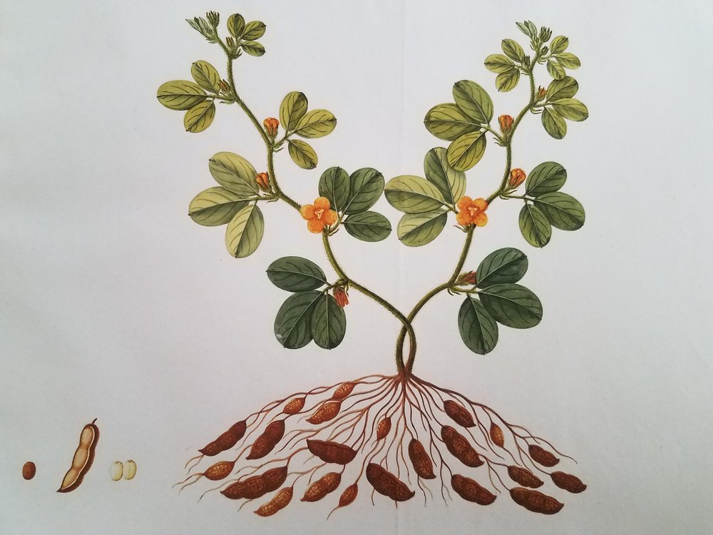 "This watercolor drawing is part of the volume ""Fruits of Malay Peninsula"" and is part of the Oak Spring Garden Library collection. This volume contains 60 drawings produced circa 1840 by an unknown Indian artist working in Southeast Asia. The drawings in this volume document plants of economic value found in the Malay Peninsula."