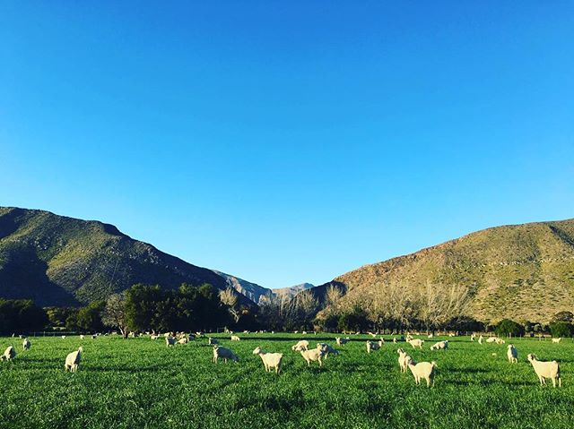 August, Kidding Season #angoragoats #kiddingseason #mohair #vanhasseltfarming #karoo