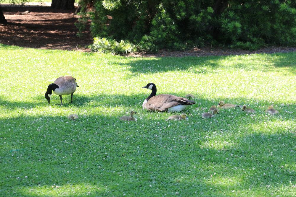 Geese and goslings at The Huntington Gardens, Pasadena