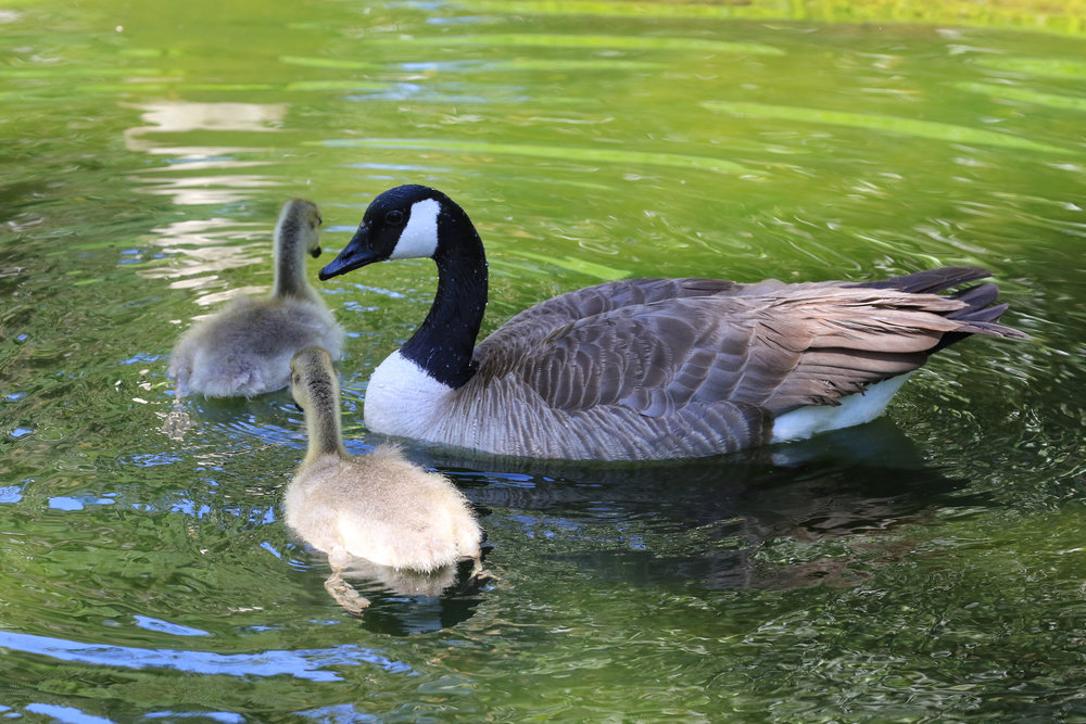 Geese at the Huntington Gardens
