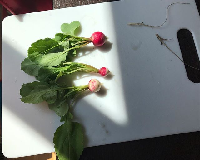 Happy Easter and Chag Pesach Sameach! I grew these tiny pungent radishes, happy spring.