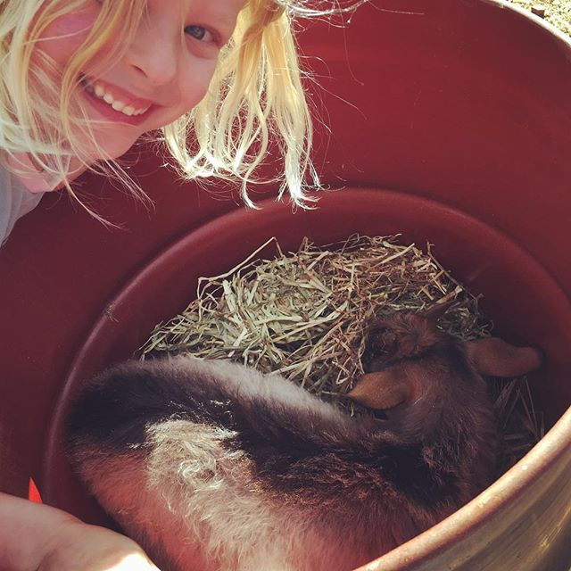 That's one of our baby goats-Fudge- in a feed barrel enjoying some meadow hay with Skye saying hi!