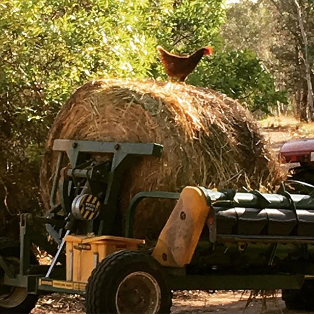 That's a true free range chook!  Living it up on the farm where we source pastured chicken eggs.  World class produce right here in SA!  www.natureandnurturefarms.com
