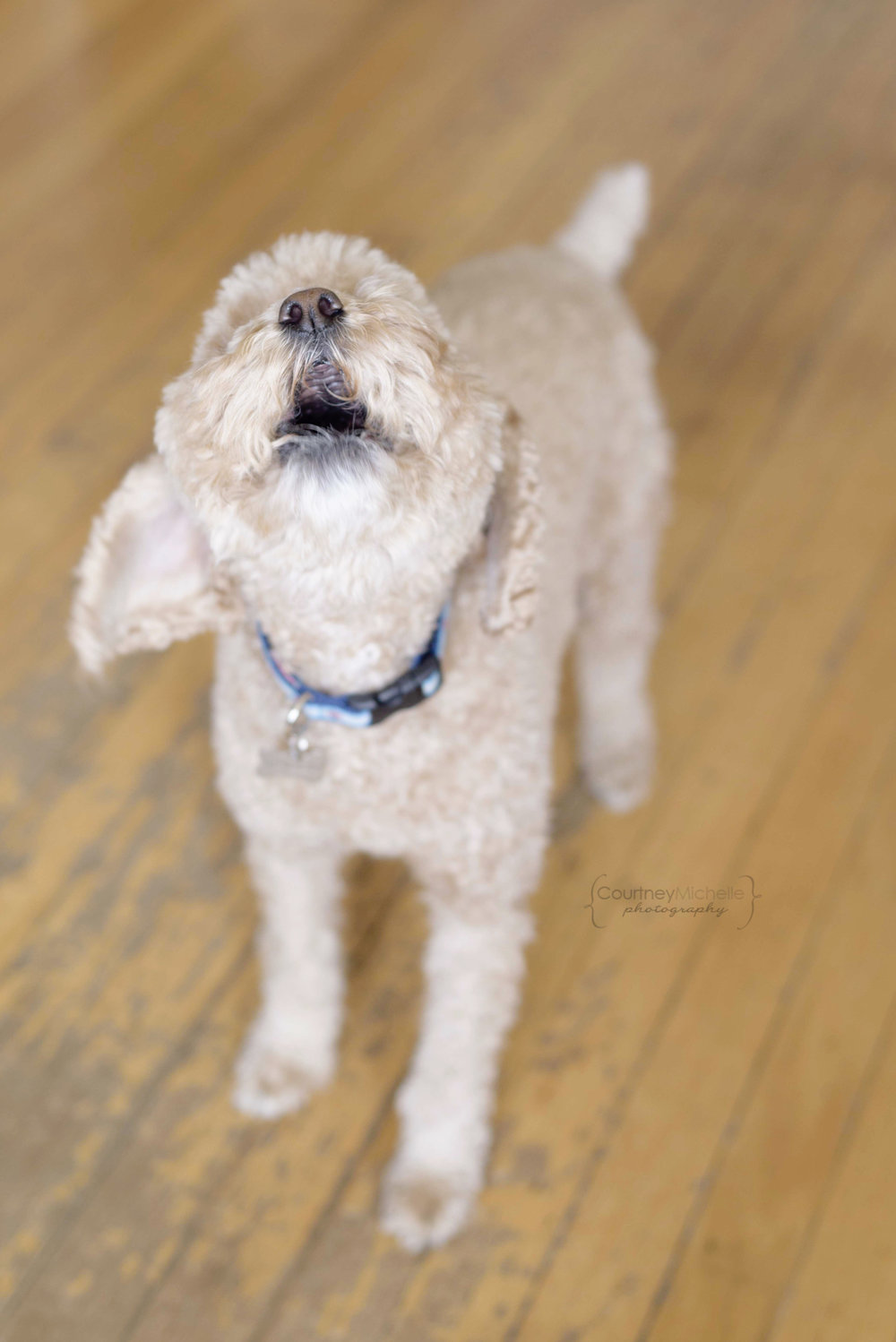 dog_barking_chicago_pet_photography_by_Courtney_Laper©COPYRIGHTCMP-0725.jpg