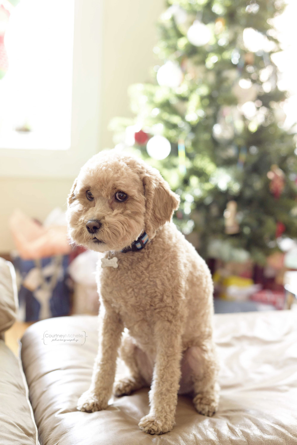 dog_christmas_tree_chicago_pet_photography_by_Courtney_Laper©COPYRIGHTCMP-0789.jpg