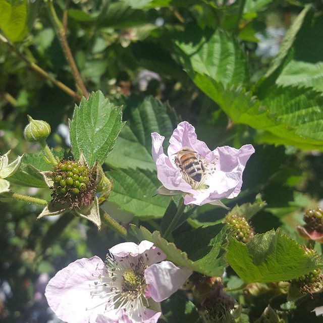 Baby blackberries and a worker bee. #swainfarms, #blackberries
