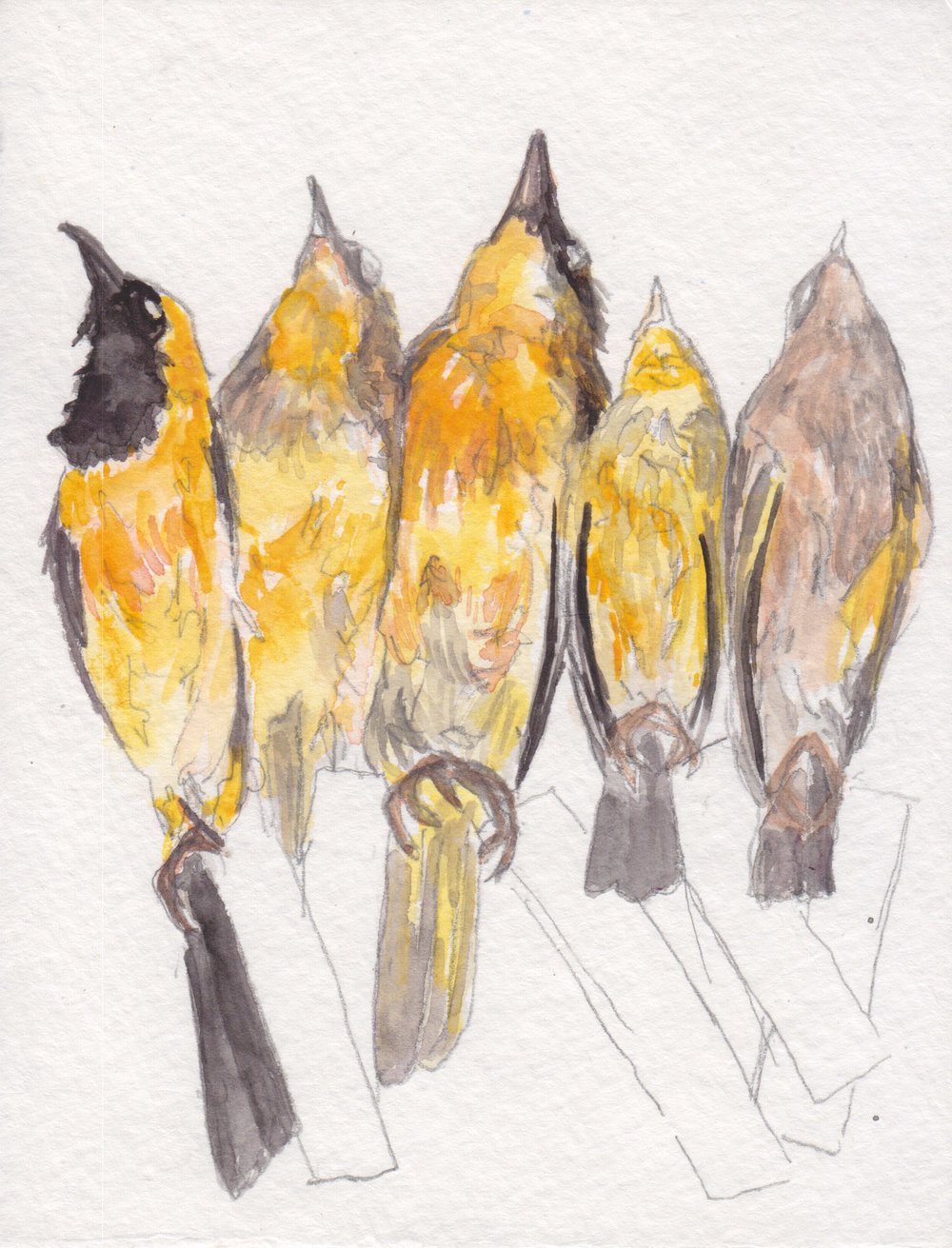 Dunn_Goldfinches2_watercolor.jpg