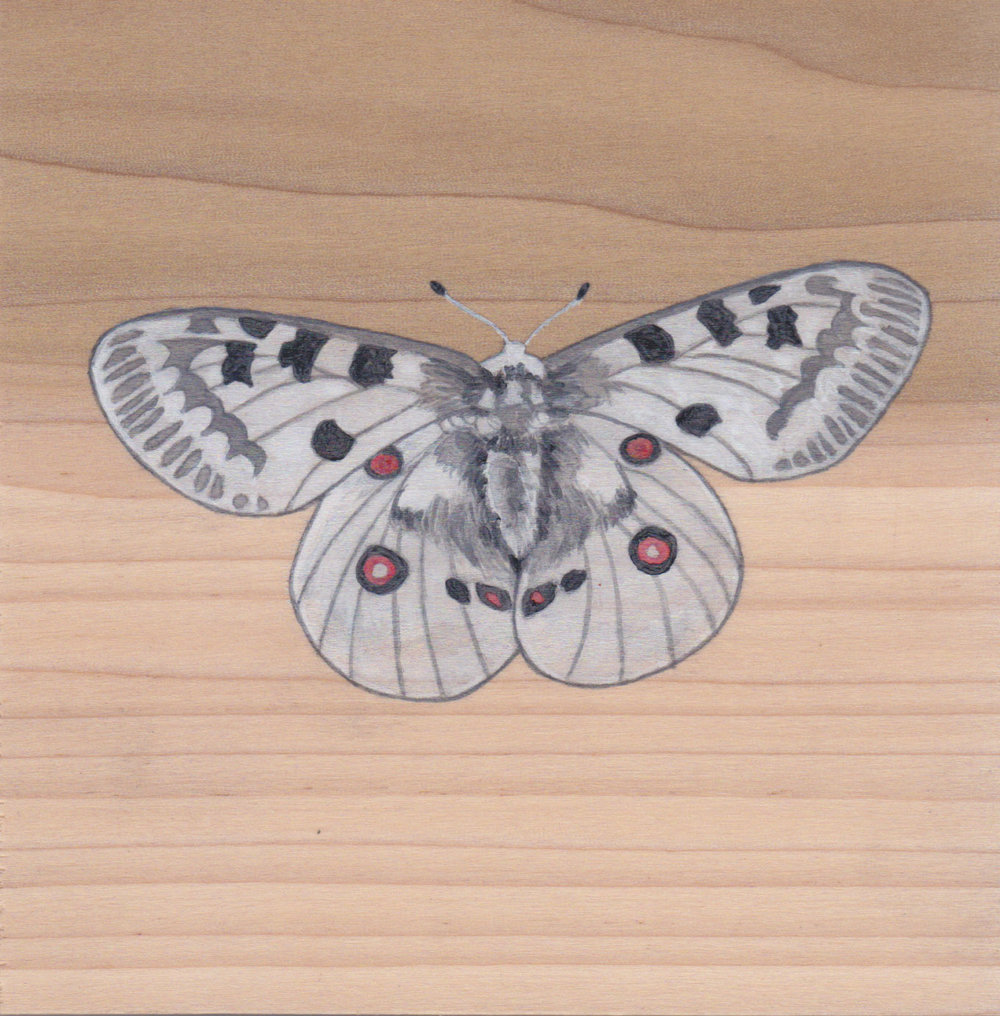Clouded Apollo Butterfly_Painting on wood_02.jpg