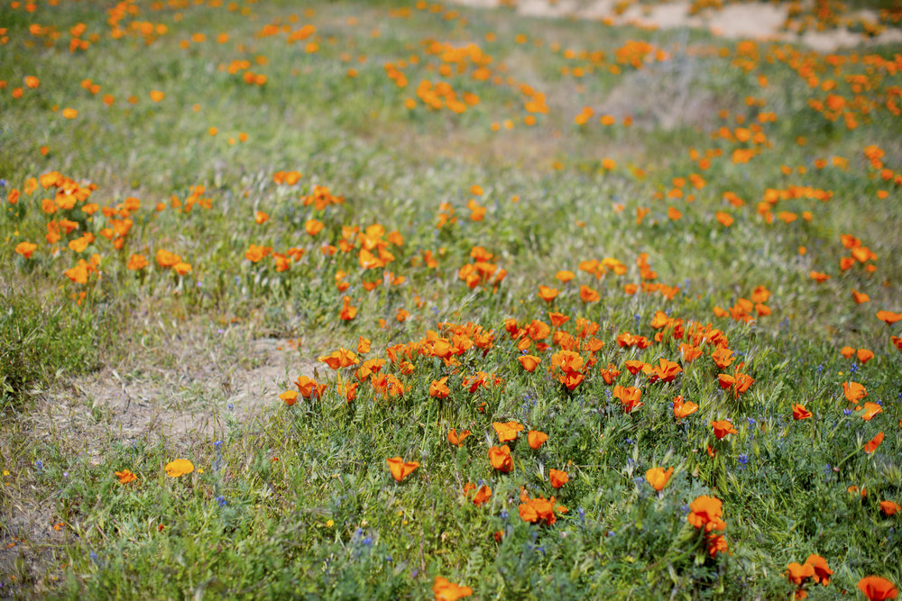 California poppy2.jpg