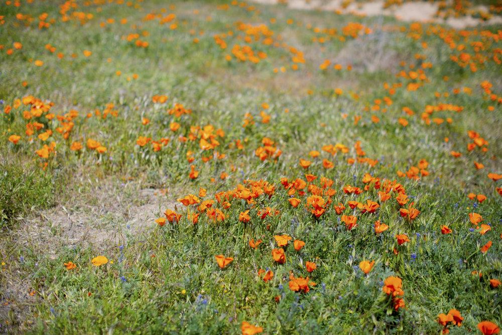 California poppy2.jpg