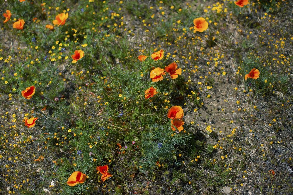 California poppy3.jpg