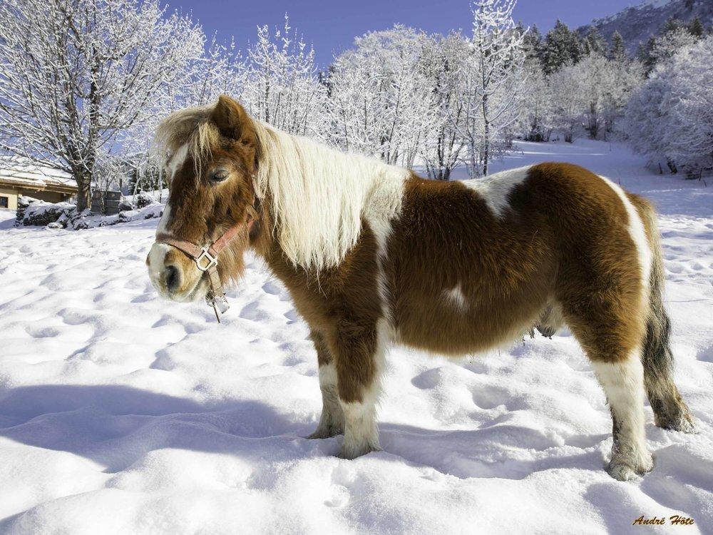 Poney roux blanc neige_8980
