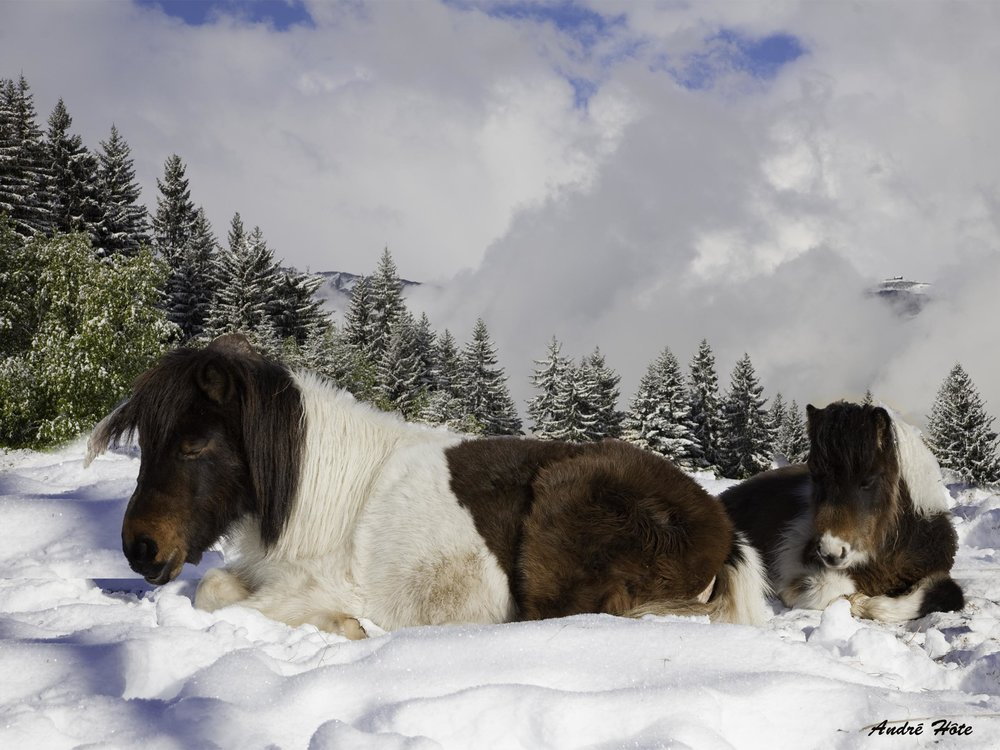 Poneys couchés neige SAPINS_9771