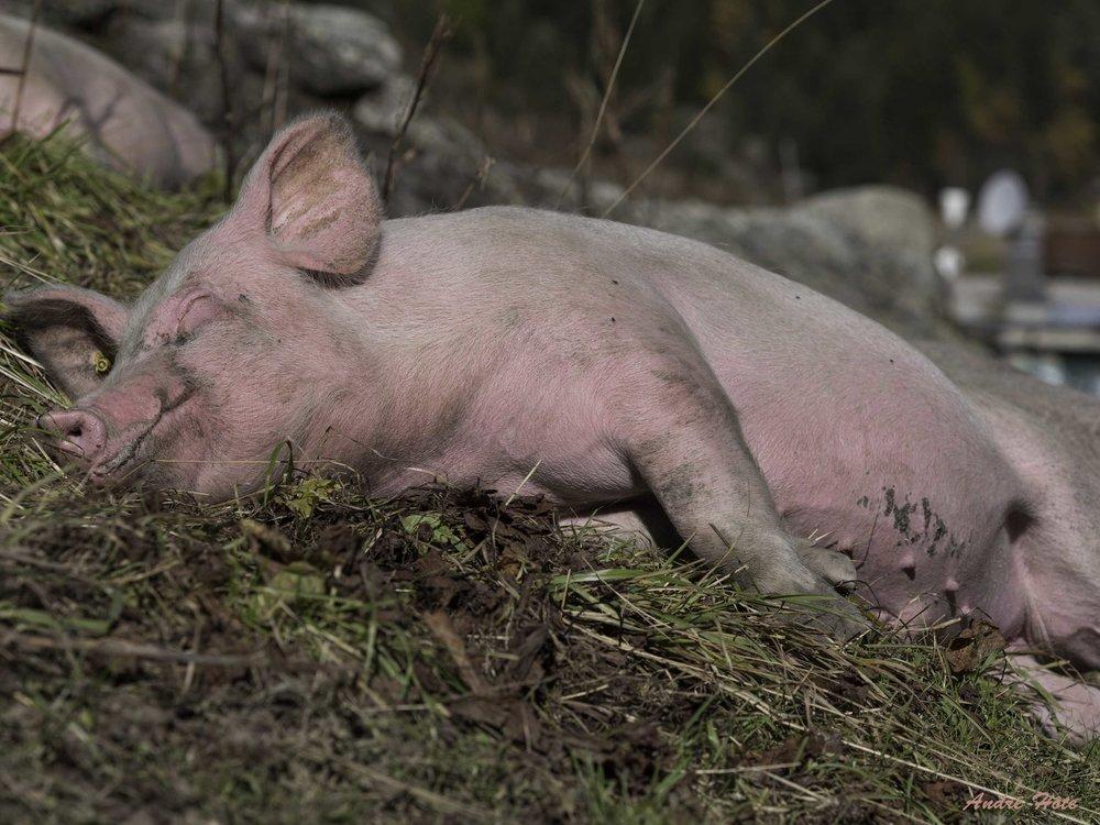 Porc sommeille_1530663