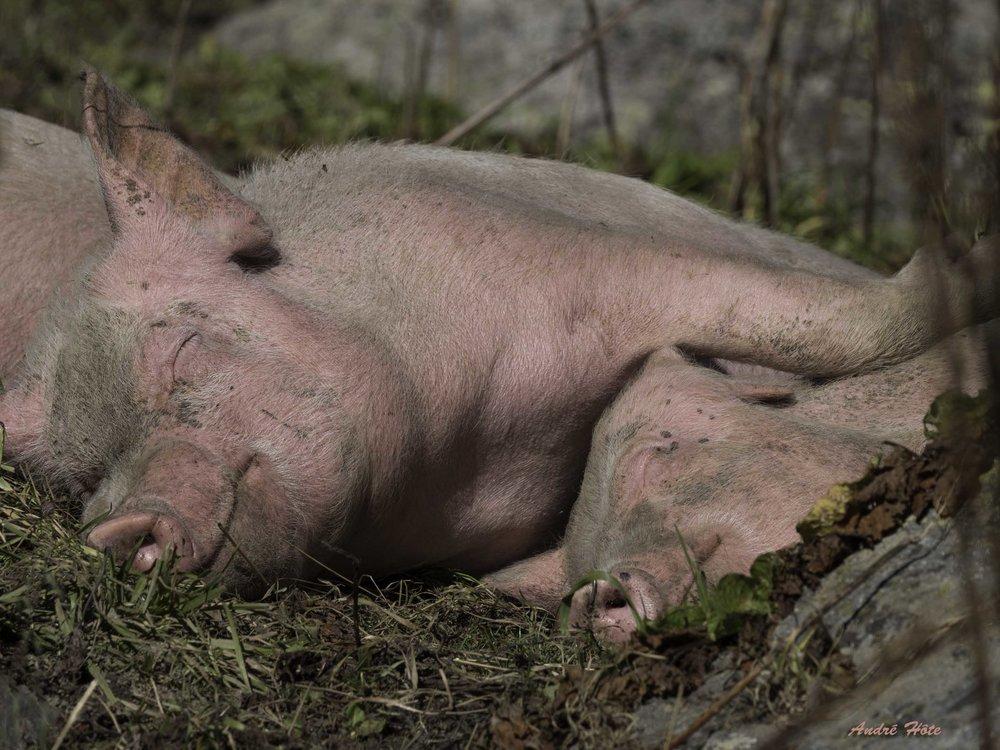 Porcs sommeillent_A050393