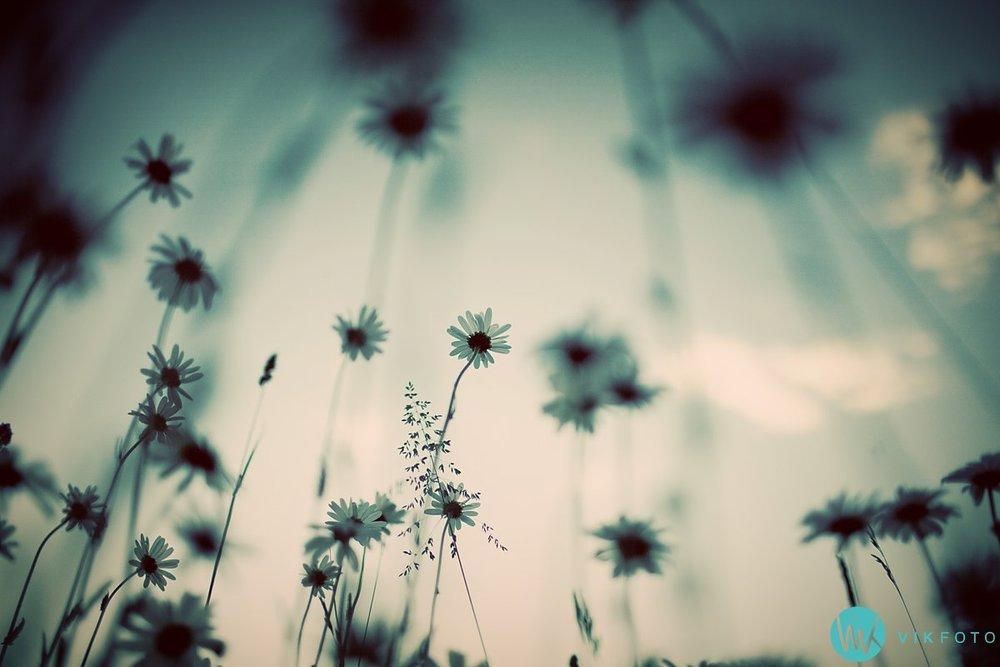kamera-speilrefleks-vinkel-perspektiv-blomst-prestekrage.jpg