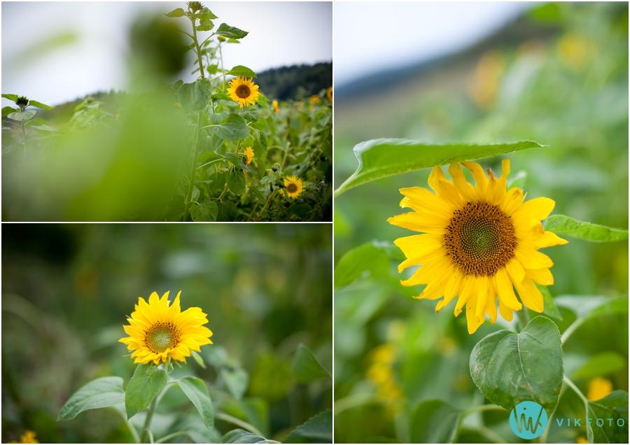 solsikke-selvplukk-blomst.jpg