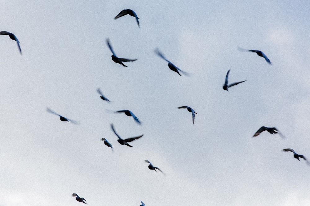 flyvende-fugler-duer